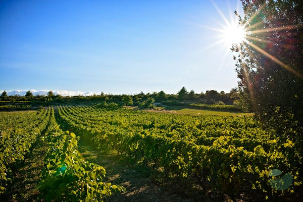 Šibenik area wine tour: meet indigenous varieties