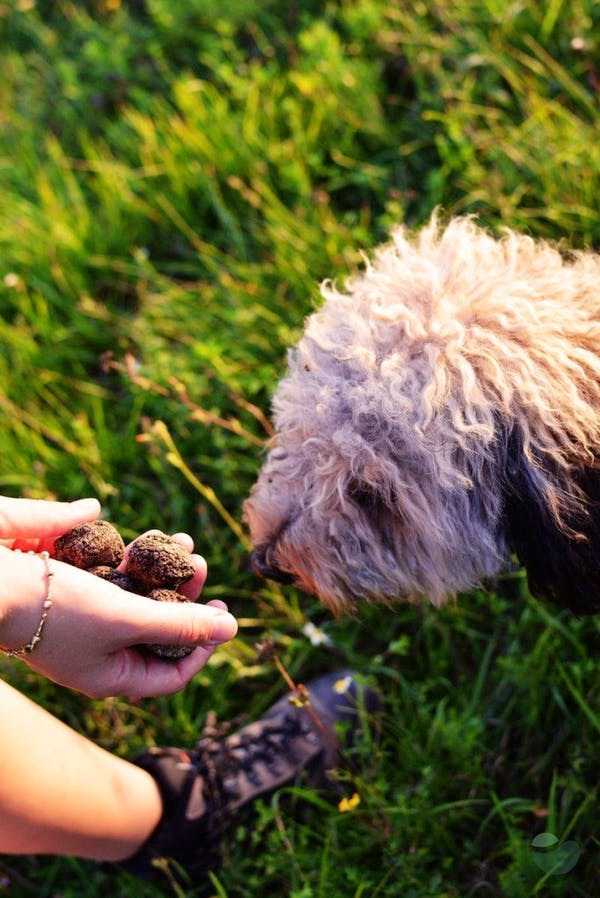 Truffle hunting experience in Istria
